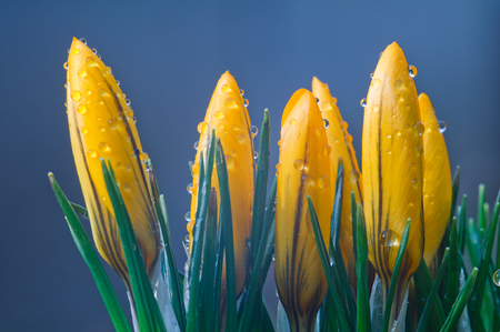 Yellow crocuses on a blue background close up