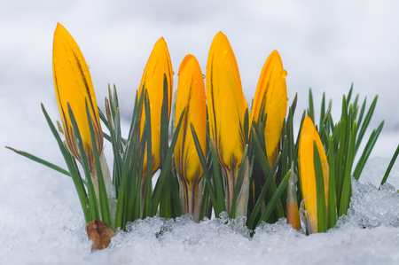 First spring flowers. Yellow crocuses growing among snow Stock Photo