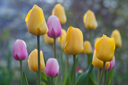 Blossom multicolored tulips