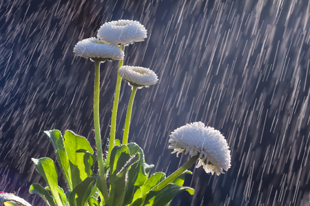 Flowers of white daisies on the background of tracks of rain drops