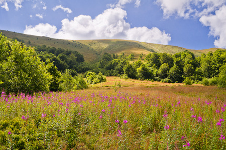 Summer mountain landscape with flowers willow-herb in the foreground. Carpathians, Ukraine Stock Photo