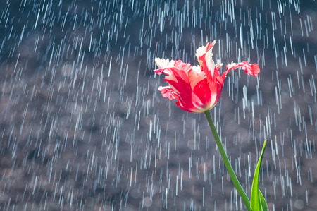Flower of red and white tulip parrot form on background of rain rides