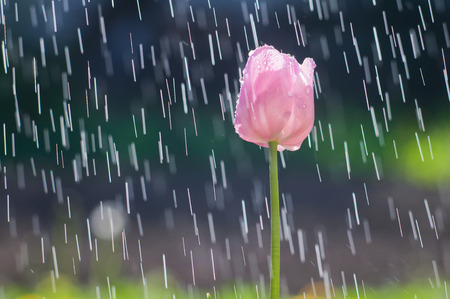 Light pink tulip on the background of the rain ripping tracks Stock Photo