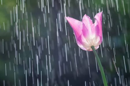 Lilac-purple tulip on the background of tracks of rain drops Stock Photo