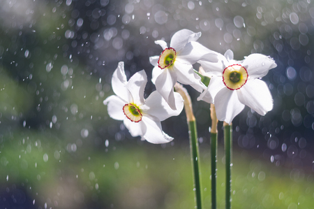 Flowers of white daffodils on the background of bubbles from water droplets. Soft focus