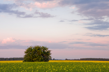 Tree in the field against the background of blooming rape and sky in the evening colors. Summer landscape Stock Photo