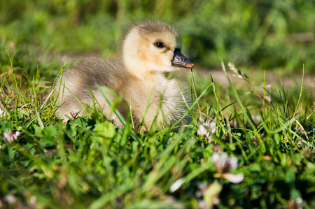 Little goose in green grass Stock Photo