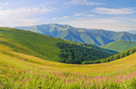 Panorama mountain range. Summer mountain landscape with flowers willow-herb the foreground. Carpathians, Ukraine, Europe.