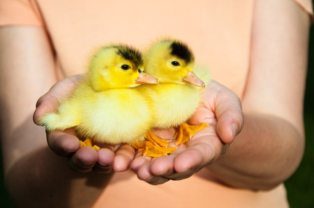 Two little cute duckling sit on palms of hands