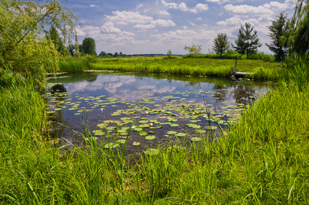 A picturesque pond with thickets of grass and lilies. Beautiful summer landscape