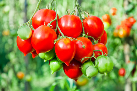 Bunch of ripe red tomato on a background of bushes of tomatoes Stock Photo
