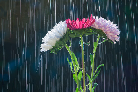Colorful flowers asters on the background of the tracks raindrops