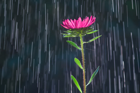 Aster flower on the background tracks of raindrops