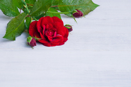 Red rose on a white wooden background Stock Photo