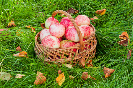 Fresh organic apples in the basket on the grass