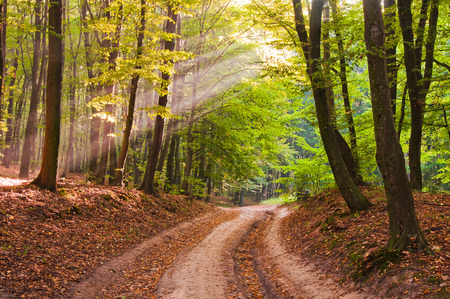 Morning rays in the autumn forest. The road is covered with fallen leaves