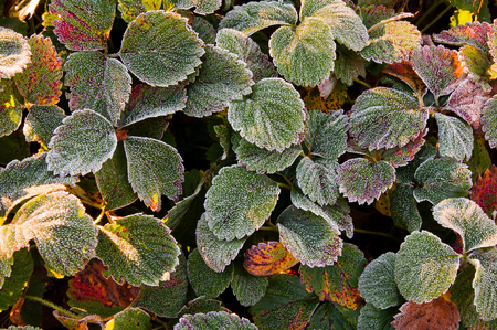 Strawberry leaves covered with the first frost Stock Photo