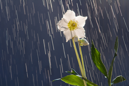 Hellebore flower (helleborus orientalis) on the background of raindrops tracks