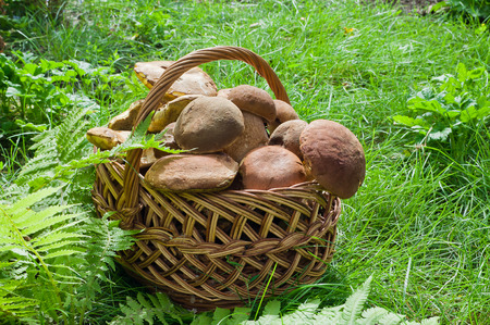 Full basket of edible mushrooms in the forest Stock Photo