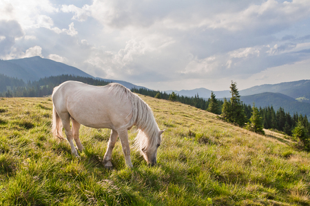 A beautiful white horse grazing in the meadow. Carpathian mountains, Ukraine.