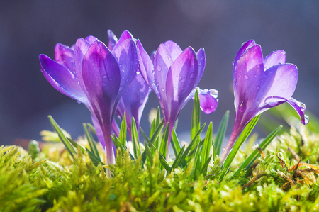 Flowers of blue crocuses on a sunny spring day Stock Photo