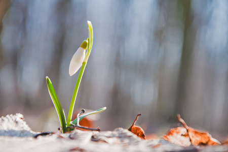 Beautiful white snowdrop flower begins to blossom in the forest Stock Photo