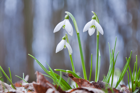 Beautiful white snowdrop flowers growing in the forest