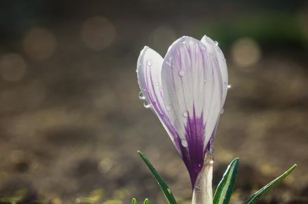 Flower of white-purple crocus in drops of water