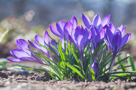 Close up of a group of blooming purple crocus flowers