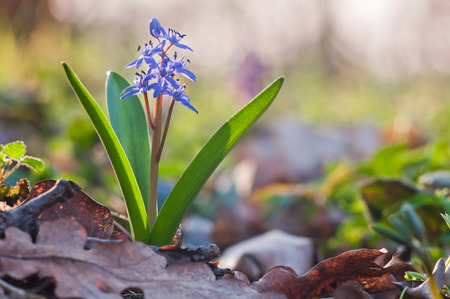 Beautiful blue snowdrop flower in sunny spring day