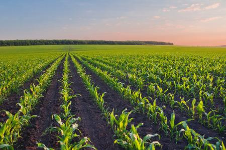 Hileras de brotes de maíz tierno en maizal