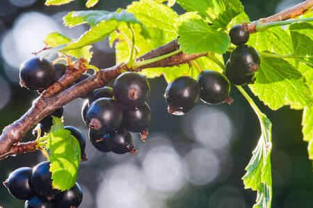 Currant. Fresh organic berries of black currant grow on the branch Stok Fotoğraf