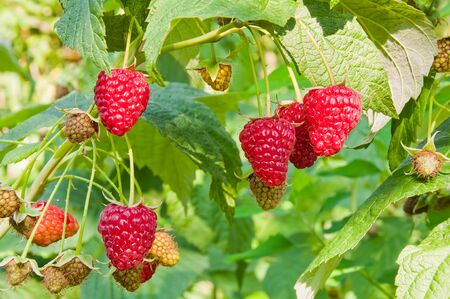 Raspberry berries are lit by the sun on the branches in the garden