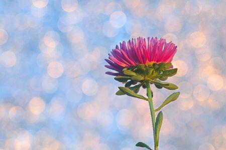 Aster flower on bokeh background Фото со стока