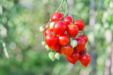 Bunch of ripe red tomato on a background of bushes of tomatoes Фото со стока