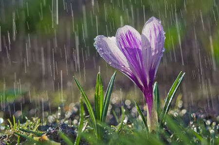 Flower of white-purple crocus on the background of rain drops tracks Stock Photo - 143894938