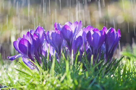 Beautiful flowers of blue crocuses on the background of rain drops tracks Stock Photo