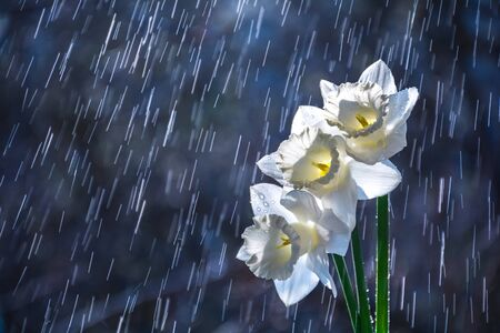 Beautiful white daffodils flowers on background of water drops tracks Stock Photo