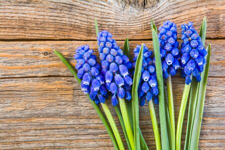 Beautiful spring blue Muscari flowers on an old wooden table