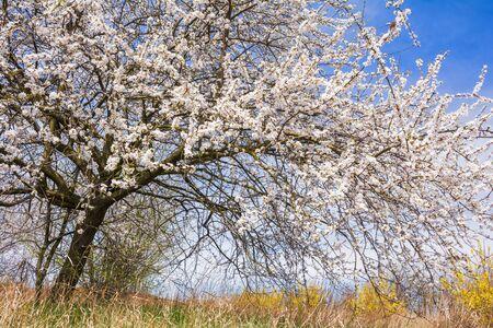 Prunus cerasifera. Fruit tree with white spring blossom in the garden