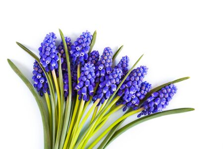 Beautiful spring blue Muscari flowers on a white background