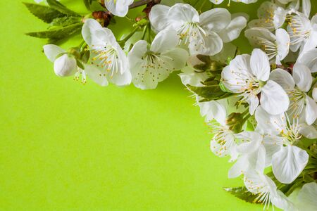 Cherry blossom on the light green background Stock Photo - 145549154