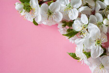 White cherry blossom on a pink background Stock Photo - 145603443