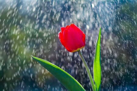 Beautiful red tulip on background of water drops tracks