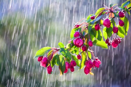 Branch of a flowering ornamental apple tree on a background of water drops tracks