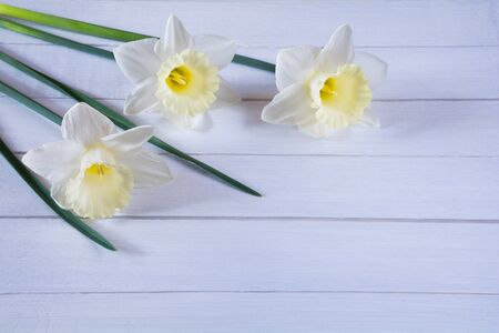 Beautiful flowers of light yellow daffodils on white wooden background Stock Photo - 146176337