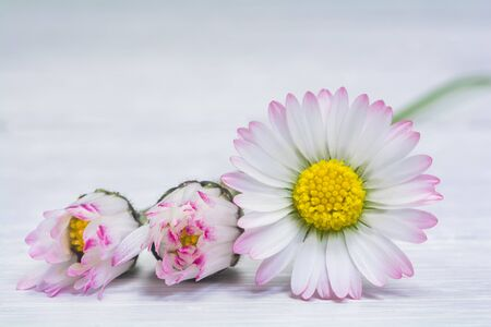 Beautiful delicate flowers of pale pink daisies on a light background. Soft focus Stock Photo - 146400583