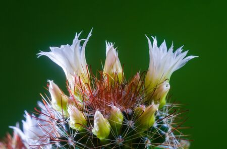 Beautiful white cactus flowers on a green background