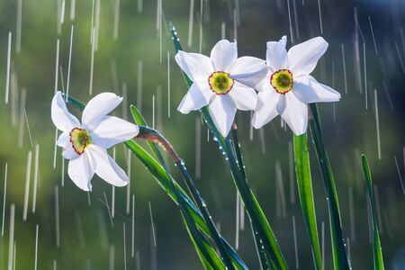 Beautiful flowers of white daffodils on a background of tracks of water drops