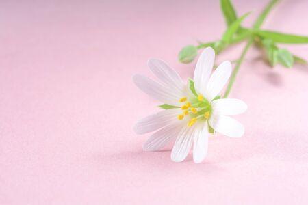 Beautiful white flower Stellaria holostea on a pink background Stock Photo